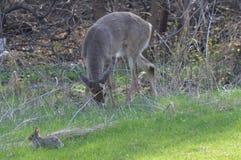 Ciervos de la cola blanca en el bosque Fotografía de archivo