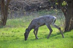 Ciervos de la cola blanca en el bosque Fotos de archivo