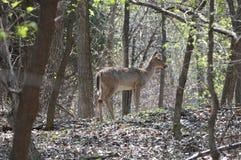 Ciervos de la cola blanca en el bosque Imagen de archivo
