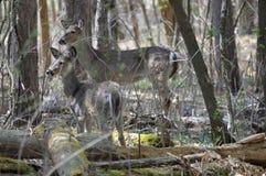 Ciervos de la cola blanca en el bosque Imágenes de archivo libres de regalías