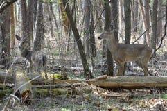 Ciervos de la cola blanca en el bosque Fotos de archivo libres de regalías
