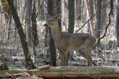Ciervos de la cola blanca en el bosque Foto de archivo libre de regalías