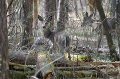 Ciervos de la cola blanca en el bosque Imagen de archivo libre de regalías