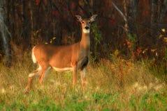 Ciervos de la cola blanca en el bosque Imagenes de archivo