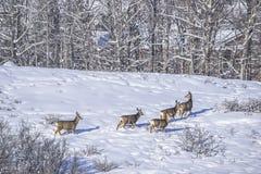 Ciervos de la cola blanca en invierno Foto de archivo libre de regalías