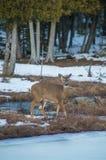 Ciervos de la cola blanca que miran la cámara por los árboles de cedro en el invierno s foto de archivo libre de regalías