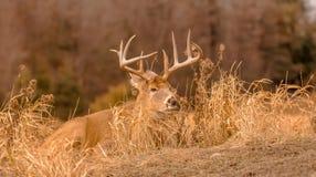 Ciervos de la cola blanca que permanecen bajos durante temporada de caza 5/5 Fotos de archivo libres de regalías