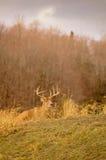 Ciervos de la cola blanca que permanecen bajos durante temporada de caza 1/5 Fotos de archivo libres de regalías