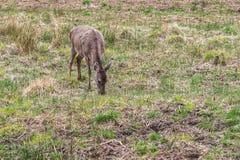 Ciervos de la fauna que comen la hierba fotos de archivo libres de regalías