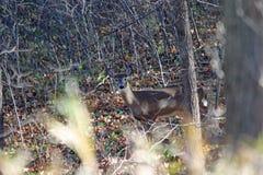Ciervos de la gama de la cola blanca en bosque Imagenes de archivo