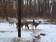 Ciervos de la mañana Fotos de archivo
