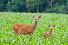 Ciervos de la mamá con el cervatillo Imagen de archivo libre de regalías
