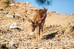 Ciervos de la montaña abajo de los acantilados en el parque nacional de Thassos Imagen de archivo libre de regalías