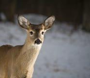 Ciervos de la oscuridad en invierno Imagen de archivo libre de regalías