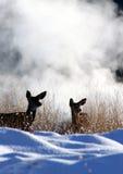 Ciervos de mula Foto de archivo