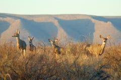 Ciervos de mula Imágenes de archivo libres de regalías