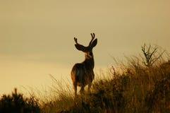 Ciervos de mula Fotos de archivo libres de regalías