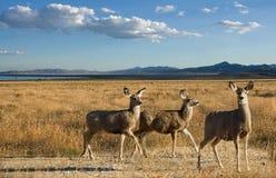 Ciervos de mula en un paisaje escénico Fotografía de archivo