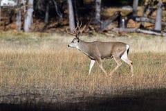 Ciervos de mula en Yosemite imágenes de archivo libres de regalías