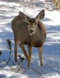 Ciervos de mula femeninos Foto de archivo libre de regalías