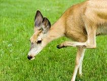 Ciervos de mula femeninos Fotos de archivo
