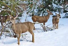 Ciervos de mula que se colocan en la nieve Imagen de archivo libre de regalías