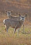 Ciervos de mula Saskatchewan Fotos de archivo