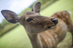 Ciervos 2 de Nara Foto de archivo