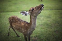 Ciervos 1 de Nara Fotos de archivo