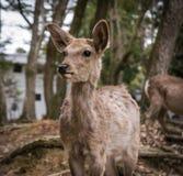 Ciervos de Nara foto de archivo