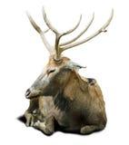 Ciervos de Pere David Imágenes de archivo libres de regalías