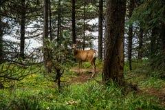 Ciervos de reclinación los ciervos comen una hierba Imagen de archivo libre de regalías