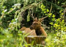 Ciervos de reclinación los ciervos comen una hierba Foto de archivo