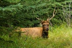 Ciervos de reclinación los ciervos comen una hierba Fotos de archivo