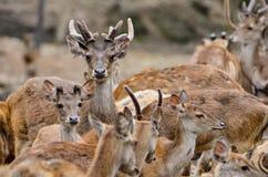 Ciervos de Rusa Fotografía de archivo libre de regalías