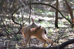 Ciervos de Shiloh Ranch Regional California Imagen de archivo libre de regalías