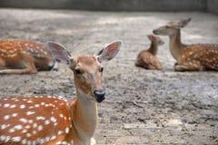 Ciervos de Sika Foto de archivo libre de regalías