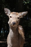 Ciervos de Sika Fotografía de archivo libre de regalías
