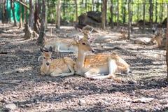 Ciervos de Sika fotos de archivo libres de regalías