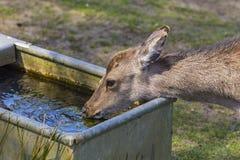 Ciervos de Sika foto de archivo