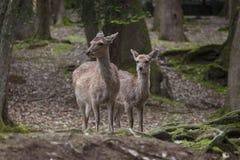 Ciervos de Sika imagen de archivo libre de regalías