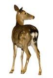 Ciervos de Sika, Cervus nipón Imagen de archivo libre de regalías