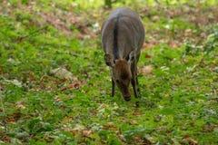 Ciervos de Sika que doblan abajo para comer en el bosque Imagen de archivo