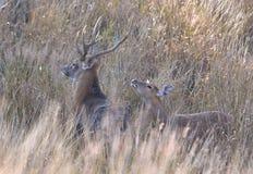 Ciervos de Silka Imágenes de archivo libres de regalías