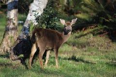 Ciervos de Washington del día soleado Foto de archivo libre de regalías
