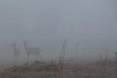 Ciervos de White-tail en la niebla Foto de archivo libre de regalías