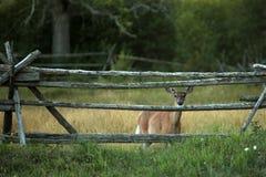 Ciervos de White-tail prudentes Foto de archivo