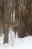 Ciervos de Whitetail foto de archivo libre de regalías