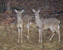 Ciervos de Whitetail Foto de archivo