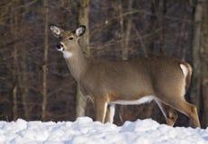 Ciervos de Whitetail Fotos de archivo
